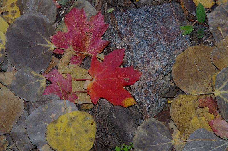 Bigtooth Maple leaf