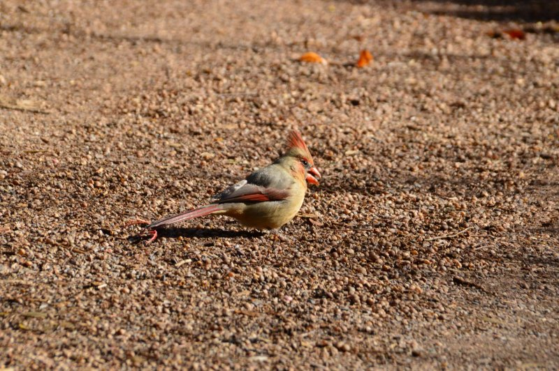 Mrs. Cardinal is hungry