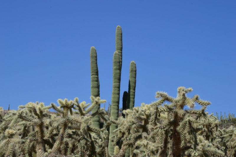 Saguaro and Cholla, Camano Rio Road