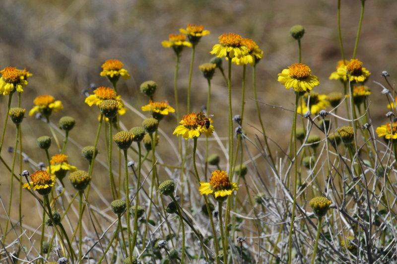Viguiera species -  Goldeneye in Salt River Canyon