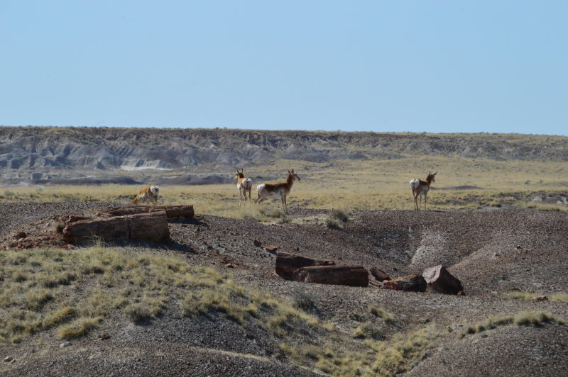Antelope seen from the Crystal Forest Trail, Petrified Forest National Park