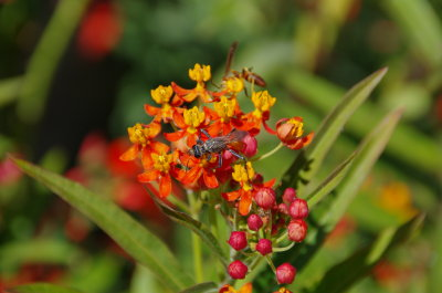 Insect on Milkweed