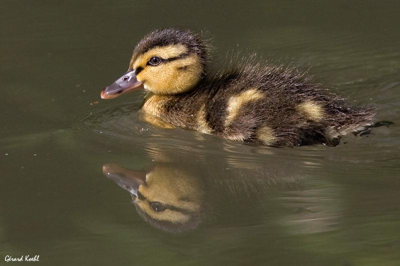Jeune canard colvert