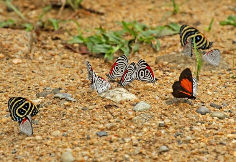 Butterflies Bombuscara