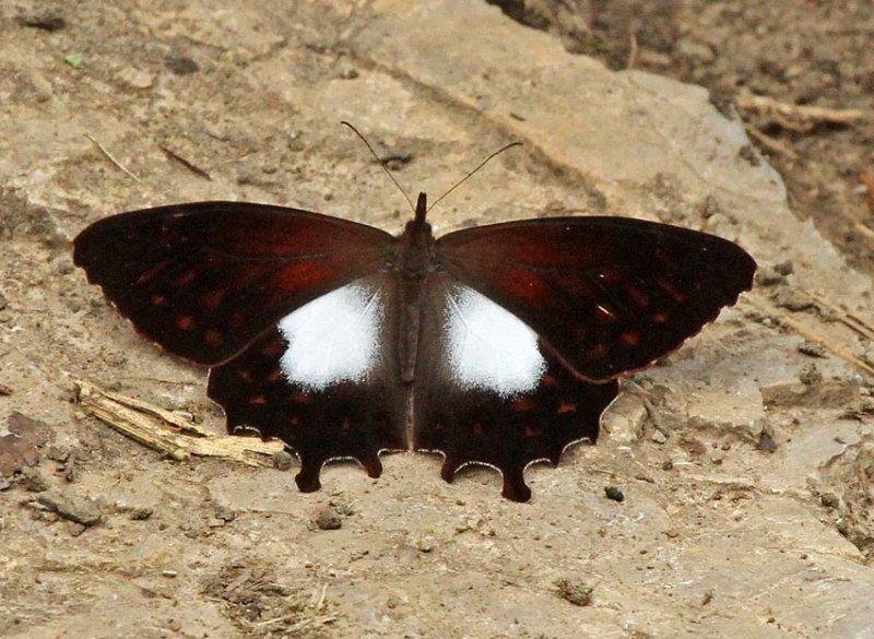 Butterfly Pomacochas
