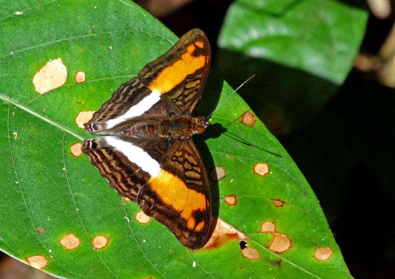 Butterfly Kapawi