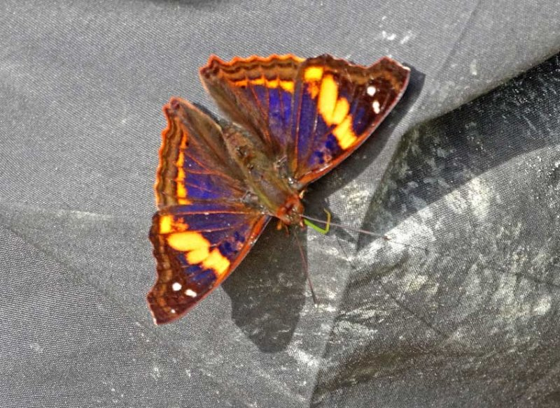 Butterfly Yankuam