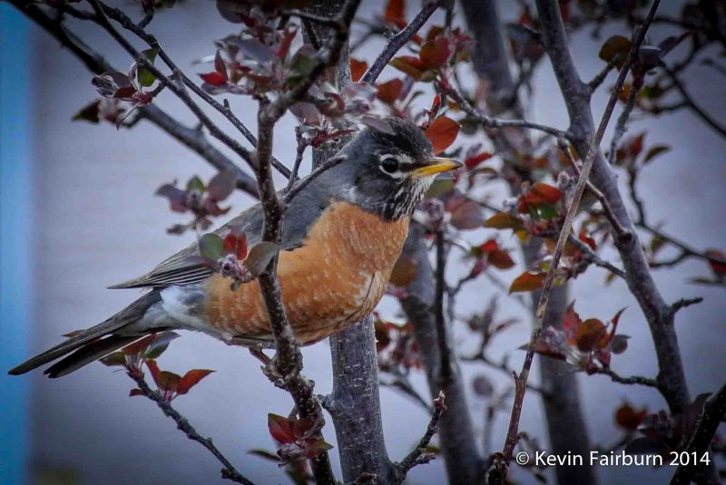 Robins are back (1 of 1).jpg