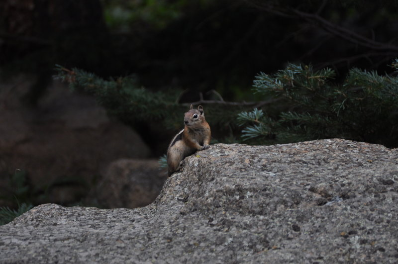 Curious Colorado Chipmunk