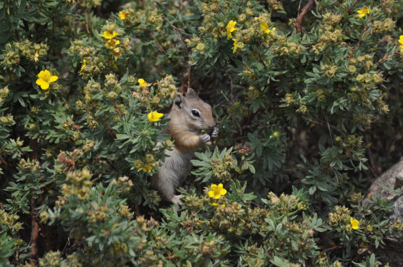 Hungry Golden-mantled Ground Squirrel