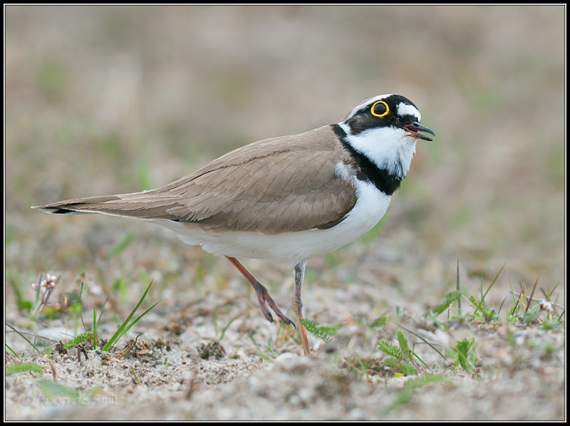 Little Ringed Plover / Kleine Plevier