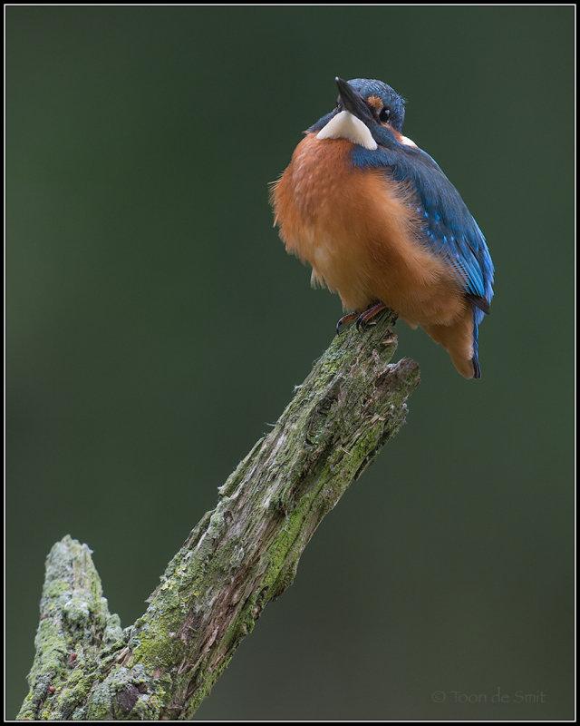 Kingfisher / IJsvogel