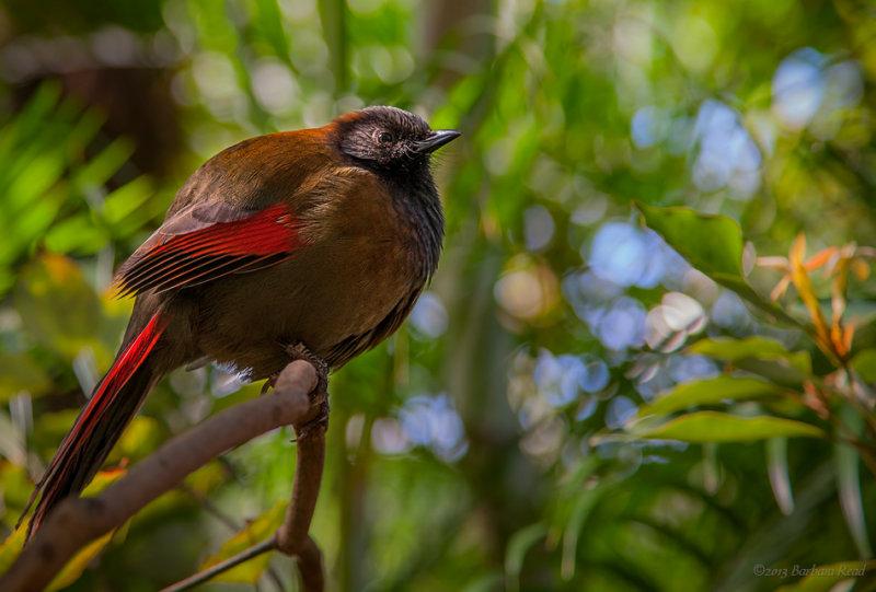 Red Winged Laughing Thrush