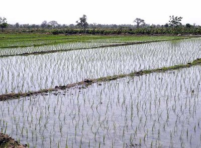 Paddy fields, Boulgou Province, Burkina Faso, provided with water from the Balgré dam.