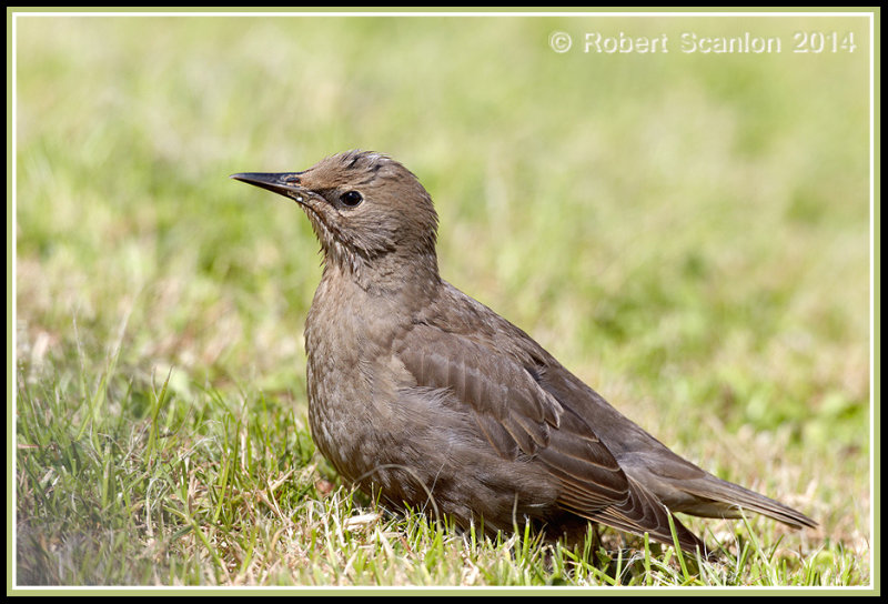 starling1.jpg