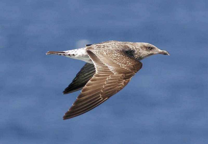 Medelhavstrut<br/>Yellow-legged Gull (Atlantic)<br/>(Larus michahellis atlantis)