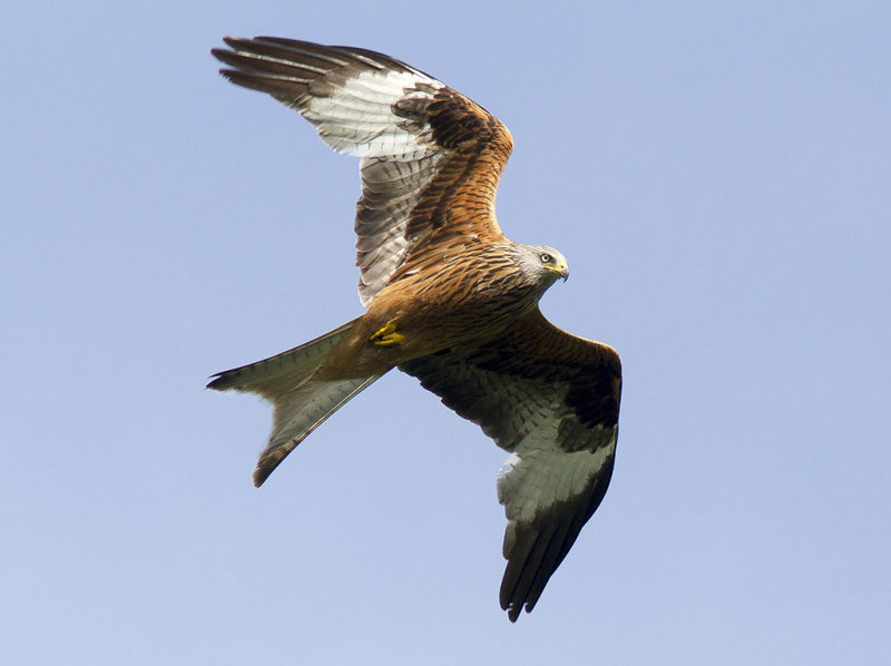 Röd glada<br>Red Kite<br>(Milvus milvus)
