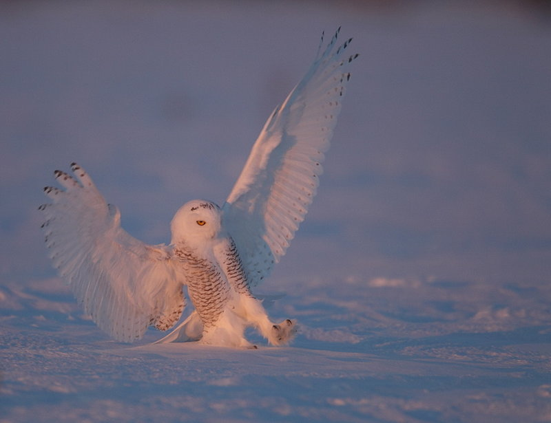 snowy owl  --  harfang des neiges