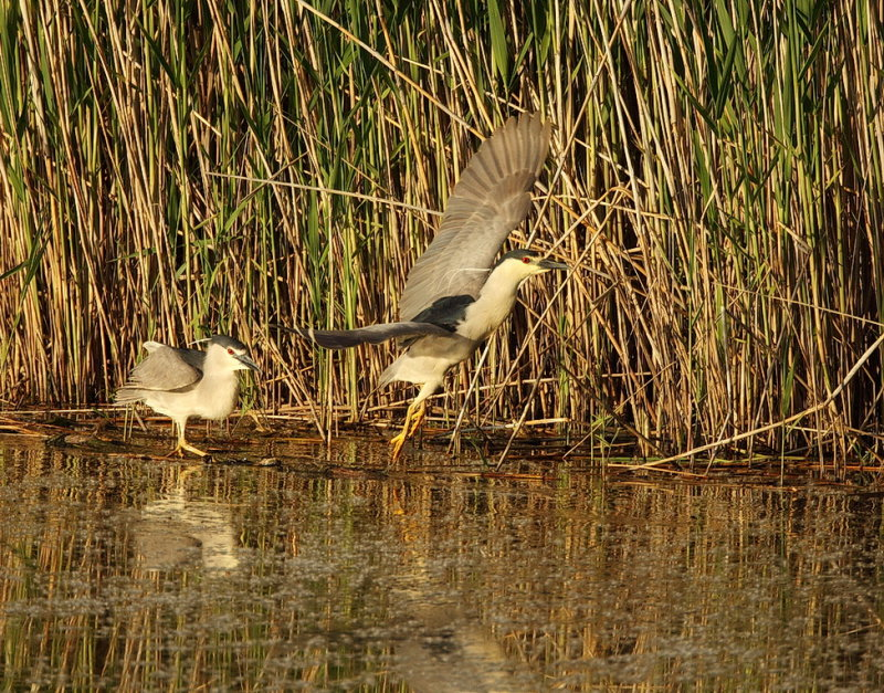 Black-Crowned Night-Heron  --  Bihoreau Gris