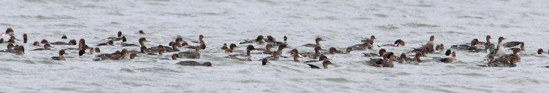 Red-breasted Merganser Raft