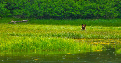 Wary brown bear, Cannery Cove, Pybus Bay, Alaska, 2013