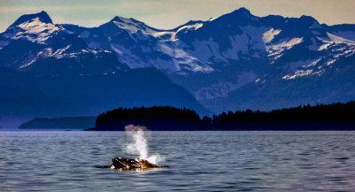 Curious humpback, Frederick Sound, Alaska, 2013