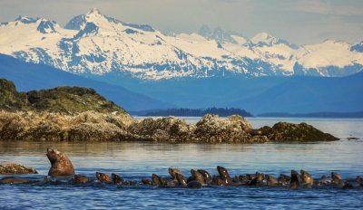 Followers, Stellar sea lion rookery, Brothers Island, Alaska, 2013