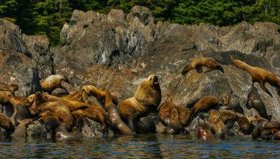 Family portrait, Stellar sea lion rookery, Brothers Island, Alaska, 2013