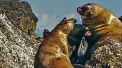 The trio, Stellar sea lion rookery, Brothers Islands, Alaska, 2013