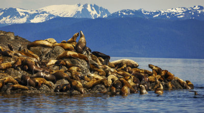Stellar sea lion rookery – a second visit. Brothers Islands, Alaska, 2013