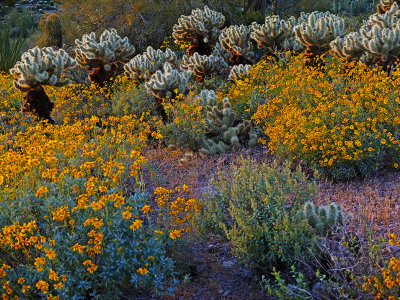 Desert in bloom, Superstition Mountains, Gold Canyon, Arizona, 2013