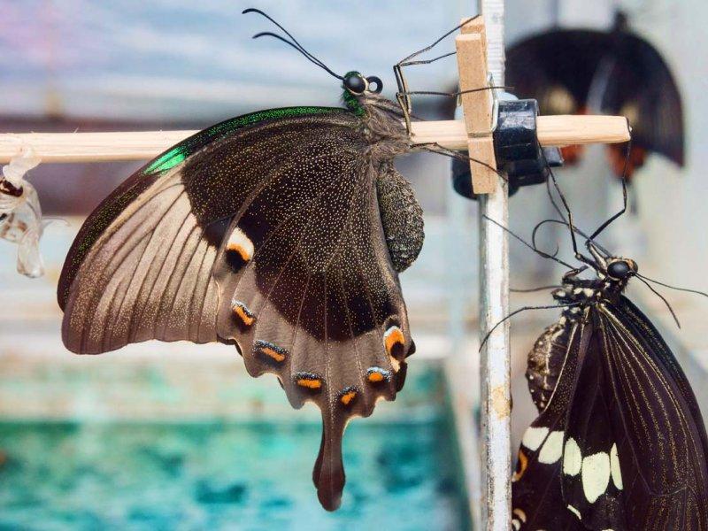 Emerald Swallowtail just emerged