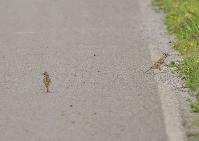 Lark Sparrow pair, Swamp Rd, Eagleville, Rutherford Co., Apr 13
