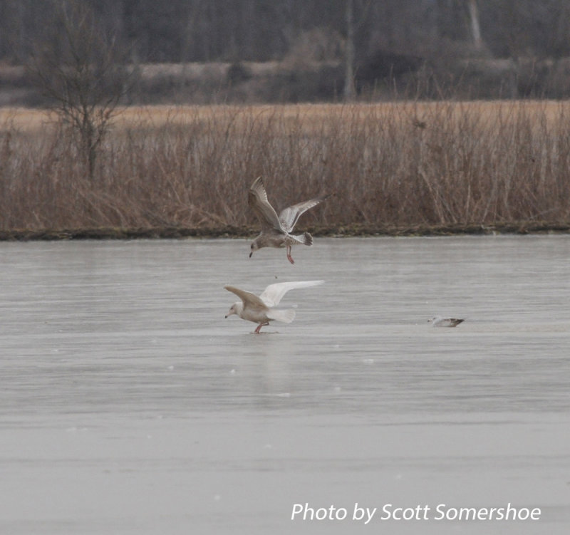 Glaucous Gull, Tunica Landfill, Tunica Co., MS, 23 Jan 14