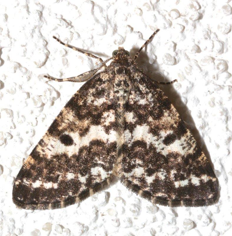 6639, Euphodonia discopilata, Sharp-lined Powder Moth