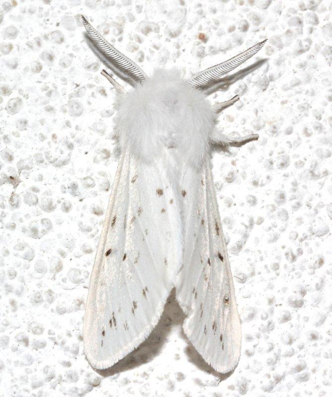 8134, Spilosoma congrua, Agreeable Tiger Moth