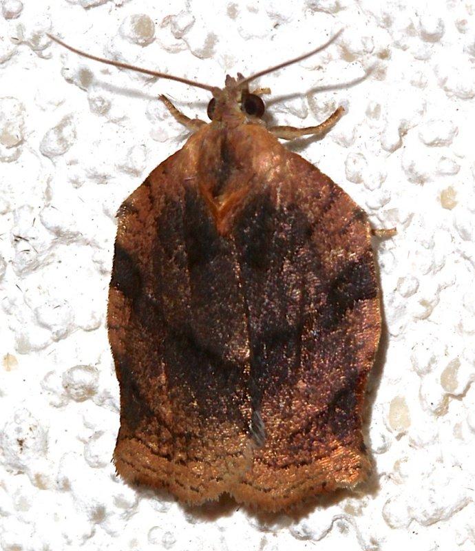 3658, Archips purpurana, Omniverous Leafroller
