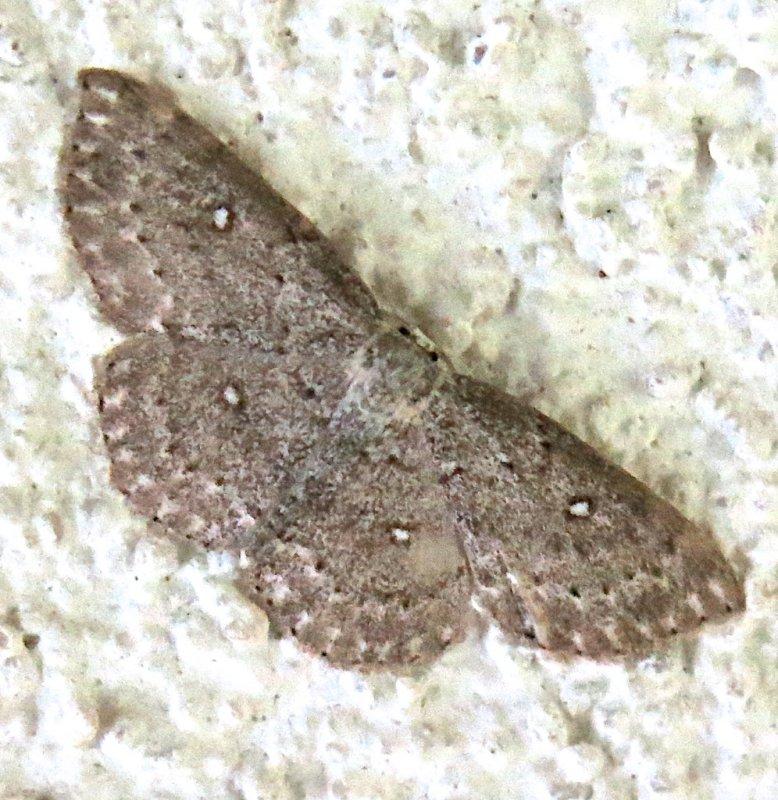 7139, Cyclophora peridulinaria, Sweet Fern Geometer