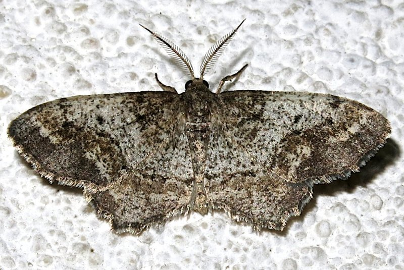 6654, Hypagyrtis unipunctata, One-spotted Variant