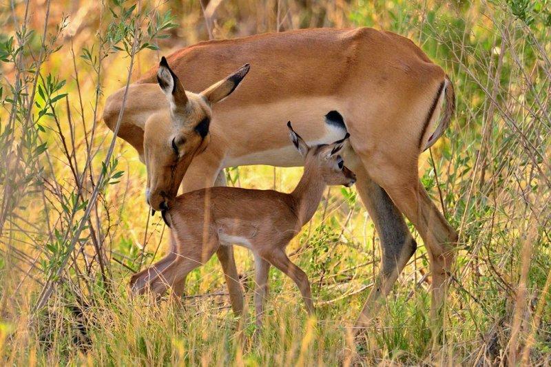 AFR_6250 Impala