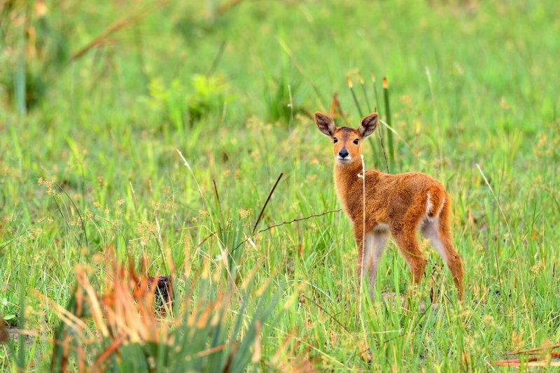 AFR_6512 Red Lechwe fawn