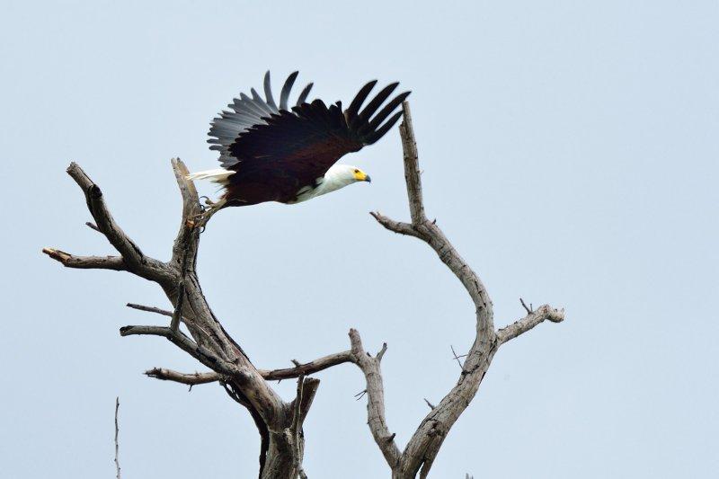 AFR_6575 African Fish Eagle