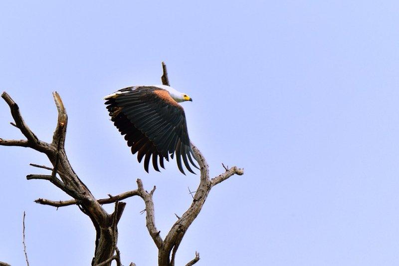 AFR_6576 African Fish Eagle