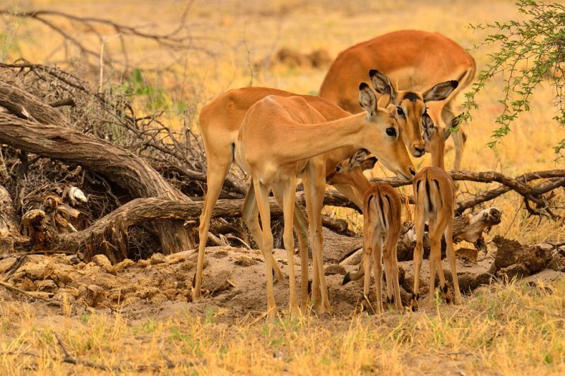 MBO_6827 Impala fawns