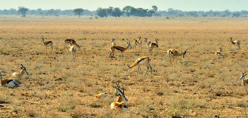 AFR_5958 Springbok