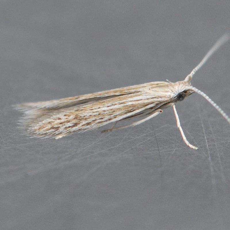 Coleophora