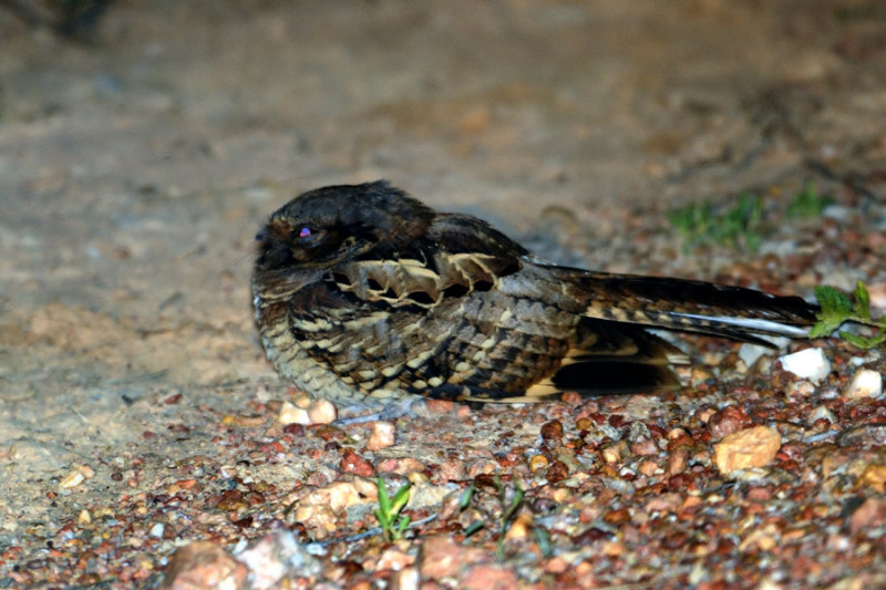 Unknown Nightjar - Pantanal