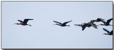 Glossy Ibis - follow the leader