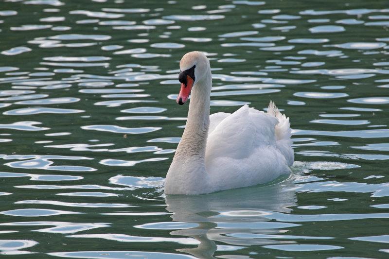 swan - labod grbec (IMG_9258m.jpg)