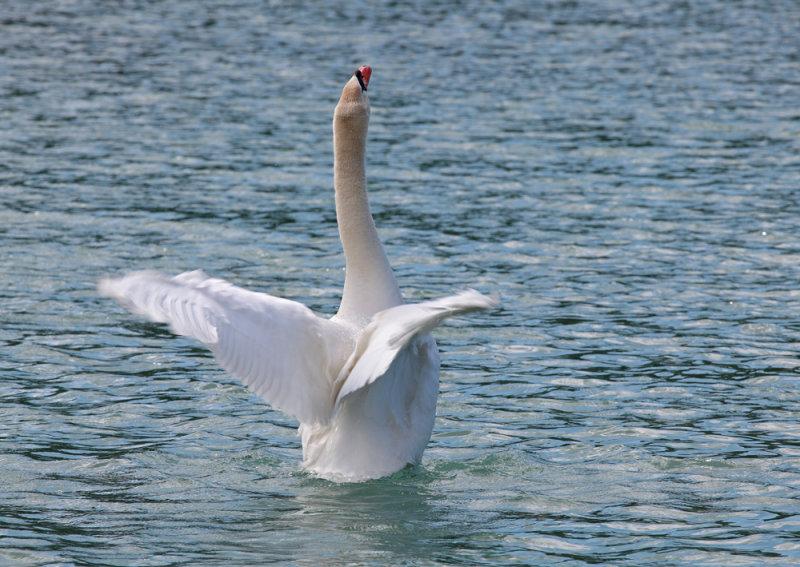 swan - labod grbec (IMG_9279m.jpg)